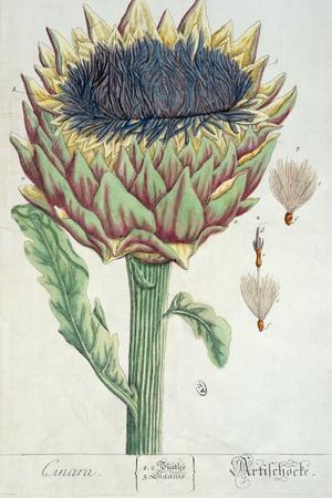 Artichoke, from 'Herbarium Blackwellianum', 1757-Elizabeth Blackwell-Stretched Canvas Print
