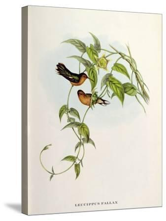 Leucippus Fallax-John Gould-Stretched Canvas Print