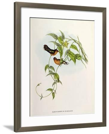 Leucippus Fallax-John Gould-Framed Giclee Print