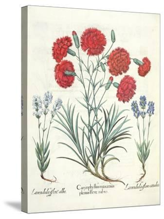 Carnations and Lavender from the 'Hortus Eystettensis' by Basil Besler--Stretched Canvas Print
