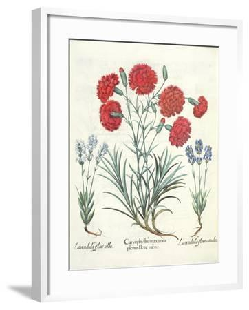 Carnations and Lavender from the 'Hortus Eystettensis' by Basil Besler--Framed Giclee Print