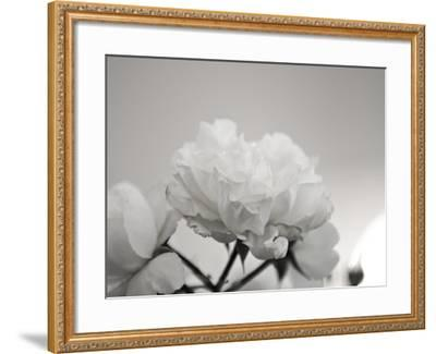 Close-Up of White Roses-Rune Johansen-Framed Photographic Print