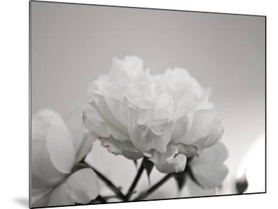 Close-Up of White Roses-Rune Johansen-Mounted Photographic Print