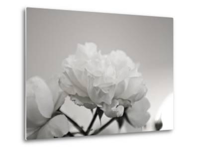 Close-Up of White Roses-Rune Johansen-Metal Print