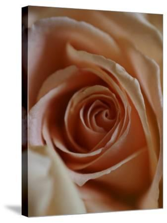 Close-Up of Rose-Elise Donoghue-Stretched Canvas Print