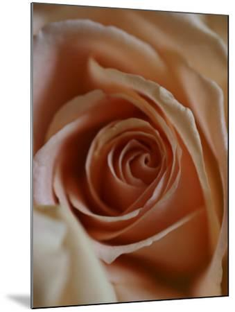 Close-Up of Rose-Elise Donoghue-Mounted Photographic Print