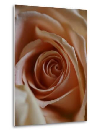 Close-Up of Rose-Elise Donoghue-Metal Print