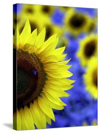 Sunflower Closeup-Abdul Kadir Audah-Stretched Canvas Print