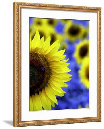 Sunflower Closeup-Abdul Kadir Audah-Framed Photographic Print