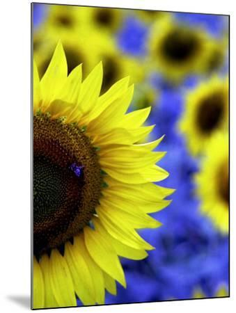 Sunflower Closeup-Abdul Kadir Audah-Mounted Photographic Print