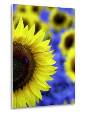 Sunflower Closeup-Abdul Kadir Audah-Metal Print