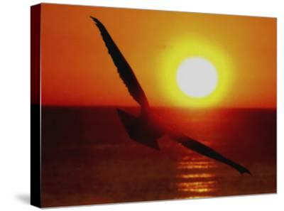 Bird Gliding into Setting Sun-Rich LaPenna-Stretched Canvas Print