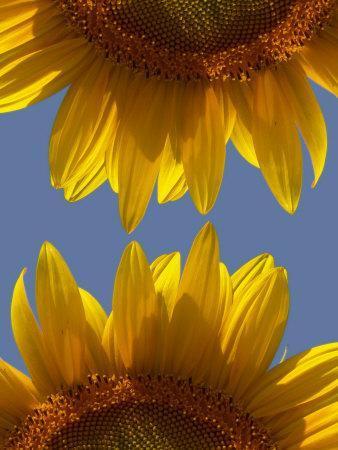 Sunflowers-Abdul Kadir Audah-Framed Photographic Print