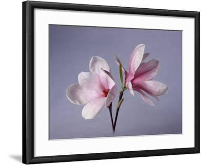 Two Japanese Magnolias, Magnolia Liliiflora-Diane Miller-Framed Photographic Print