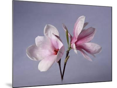Two Japanese Magnolias, Magnolia Liliiflora-Diane Miller-Mounted Photographic Print