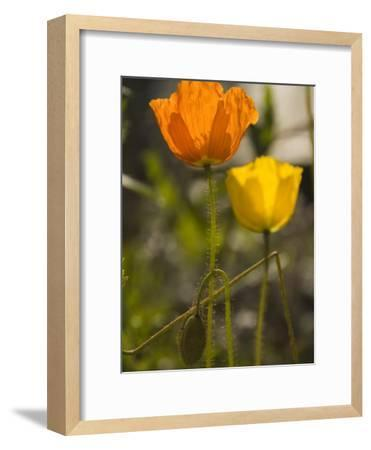 Close-up of Sunlit Poppies-Annie Griffiths Belt-Framed Photographic Print