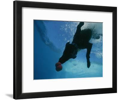 Black Lab Retrieves a Toy Underwater-Bill Curtsinger-Framed Photographic Print