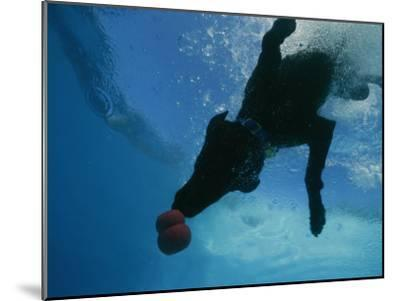 Black Lab Retrieves a Toy Underwater-Bill Curtsinger-Mounted Photographic Print