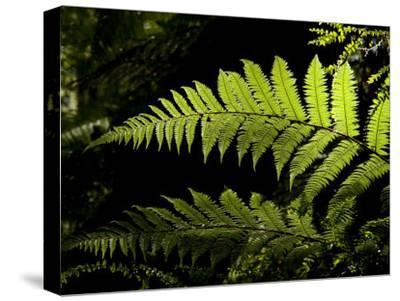 Ferns Growing Along the Kepler Trail, Fiordland National Park, New Zealand-Bill Hatcher-Stretched Canvas Print