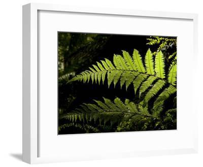 Ferns Growing Along the Kepler Trail, Fiordland National Park, New Zealand-Bill Hatcher-Framed Photographic Print
