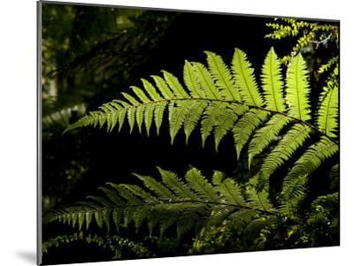 Ferns Growing Along the Kepler Trail, Fiordland National Park, New Zealand-Bill Hatcher-Mounted Photographic Print