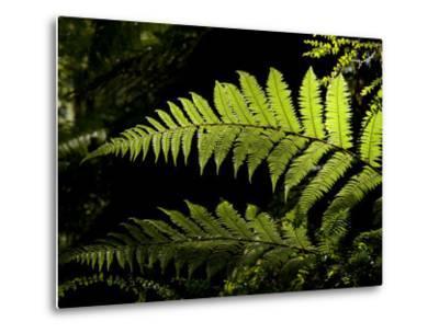 Ferns Growing Along the Kepler Trail, Fiordland National Park, New Zealand-Bill Hatcher-Metal Print