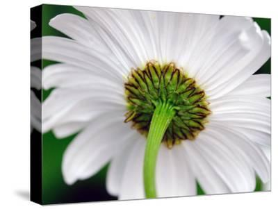Underside of a White Daisy Flower-Darlyne A^ Murawski-Stretched Canvas Print