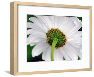 Underside of a White Daisy Flower-Darlyne A^ Murawski-Framed Photographic Print