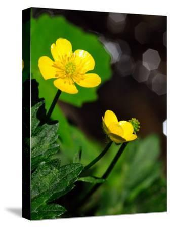 Buttercup Flowers Growing by the Side of a Stream-Darlyne A^ Murawski-Stretched Canvas Print