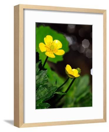 Buttercup Flowers Growing by the Side of a Stream-Darlyne A^ Murawski-Framed Photographic Print