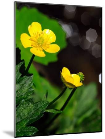 Buttercup Flowers Growing by the Side of a Stream-Darlyne A^ Murawski-Mounted Photographic Print