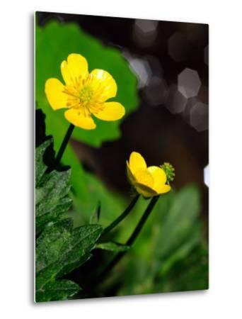 Buttercup Flowers Growing by the Side of a Stream-Darlyne A^ Murawski-Metal Print