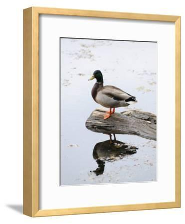 Male Mallard Duck with His Reflection in the Water-Darlyne A^ Murawski-Framed Photographic Print