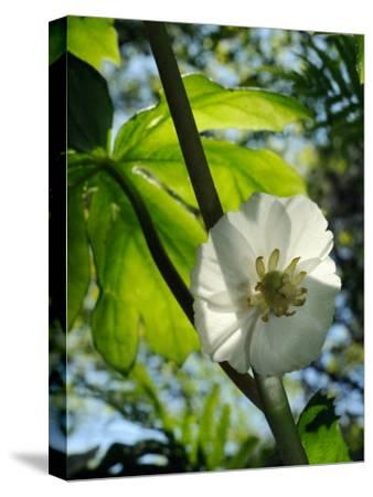Mayapple Flower Up Close-Darlyne A^ Murawski-Stretched Canvas Print