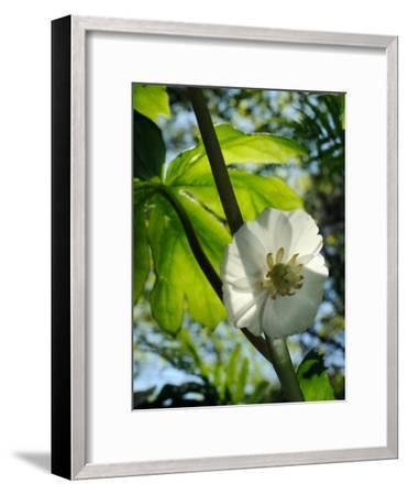 Mayapple Flower Up Close-Darlyne A^ Murawski-Framed Photographic Print