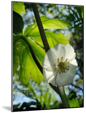 Mayapple Flower Up Close-Darlyne A^ Murawski-Mounted Photographic Print