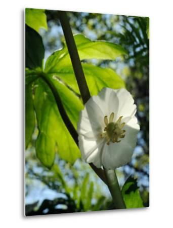 Mayapple Flower Up Close-Darlyne A^ Murawski-Metal Print