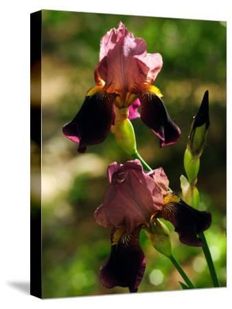 Two Pink and Purple Iris Flowers-Darlyne A^ Murawski-Stretched Canvas Print