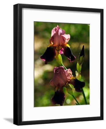Two Pink and Purple Iris Flowers-Darlyne A^ Murawski-Framed Photographic Print