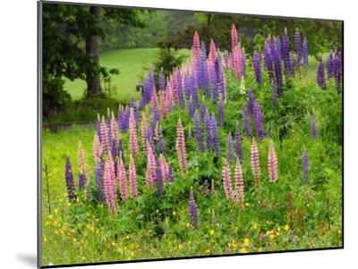 Field of Lupines in Maine-Darlyne A^ Murawski-Mounted Photographic Print