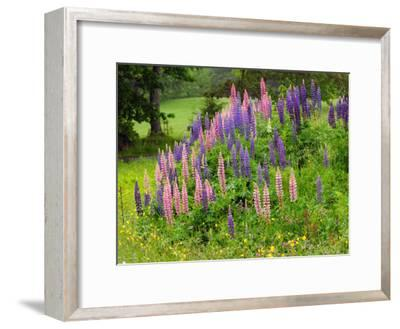 Field of Lupines in Maine-Darlyne A^ Murawski-Framed Photographic Print