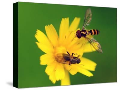 Two Flies Pollinate a Yellow Flower-Darlyne A^ Murawski-Stretched Canvas Print