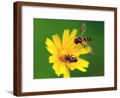 Two Flies Pollinate a Yellow Flower-Darlyne A^ Murawski-Framed Photographic Print