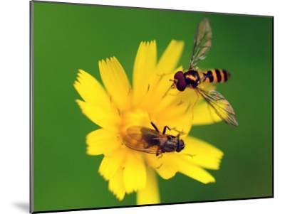Two Flies Pollinate a Yellow Flower-Darlyne A^ Murawski-Mounted Photographic Print