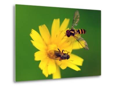 Two Flies Pollinate a Yellow Flower-Darlyne A^ Murawski-Metal Print