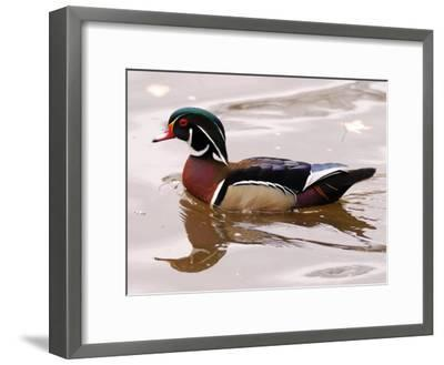 Male Wood Duck Swimming-Darlyne A^ Murawski-Framed Photographic Print