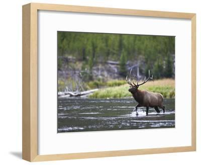 Bull Elk Wades Through the Madison River in Yellowstone-Drew Rush-Framed Photographic Print