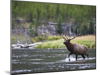 Bull Elk Wades Through the Madison River in Yellowstone-Drew Rush-Mounted Photographic Print