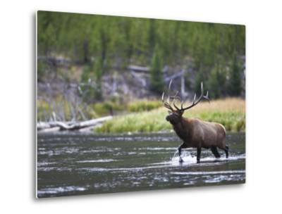 Bull Elk Wades Through the Madison River in Yellowstone-Drew Rush-Metal Print