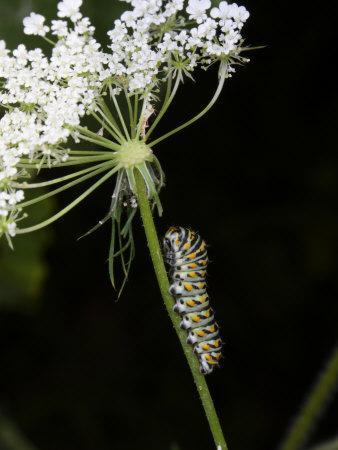 Black Swallowtail Butterfly Caterpillar on Queen Anne's Lace-George Grall-Framed Photographic Print